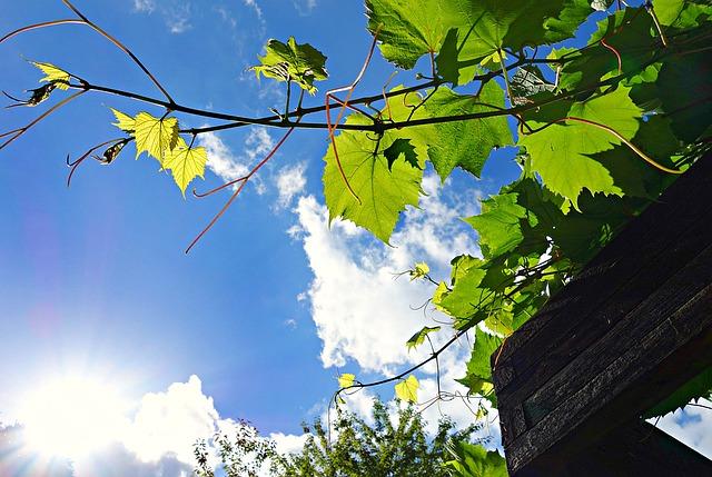 slunce, modrá obloha, listy vinné révy